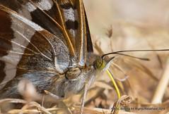 Purple Emperor (snapp3r) Tags: butterfly purpleemperor fermyn woods