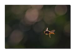 Arrêt sur image (Des.Nam) Tags: insectes abeille guêpe envol bokey desnam d800 macro proxy 105mmf28