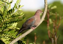 Red-billed Pigeon --- Patagioenas flavirostris (creaturesnapper) Tags: costarica birds xandariresort pigeons redbilledpigeon patagioenasflavirostris