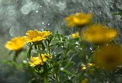 Yellow flower and waterdrops (Rita Eberle-Wessner) Tags: pallenismaritima küstentrandstern goldtaler goldauge dukatenblume blume makro bokeh helios442 pflante plant flower pflanze valleonsernone