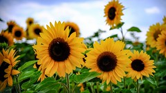Sunflowers - 5491 (ΨᗩSᗰIᘉᗴ HᗴᘉS +19 000 000 thx) Tags: sunflower flora fleur yellow tournesol nature fuji fujifilmgfx50s fujifilm hensyasmine namur belgium europa aaa namuroise look photo friends be wow yasminehens interest intersting eu fr greatphotographers lanamuroise tellmeastory flickering laowa laowa60mm