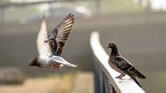 pigeon fancying-3 (grahamrobb888) Tags: nikon nikond800 nikkor d800 nikkor85mmf18 birds pigeon pigeons
