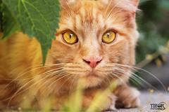 Cliff (morbidtibor) Tags: cat cats kat katten poes poezen kitten pussycat maincoone norwegianforestcat