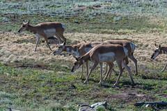 Pronghorn Antilope (sgplewka) Tags: usa 2017 windcavenp animals tiere urlaub custer southdakota us