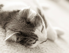 A moment of rest (Alberto Vanoli) Tags: catsdogs animals bwtoned photo pet bokeh