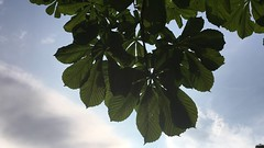 Horse Chestnut (Aesculus hippocastanum) - leaves in the sun - July 2018 (Exeter Trees UK) Tags: horse chestnut aesculus hippocastanum leaves sun july 2018