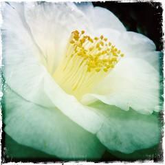 My Precious (Rantz) Tags: rantz mobilography 365 roger doesanyonereadtagsanymore victoria melbourne johnslens flower kodotxgrizzledfilm hipstamatic flowers