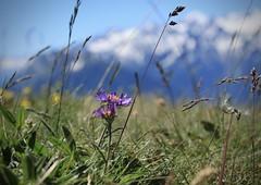 asters sur la Grand Garde (bulbocode909) Tags: valais suisse ovronnaz grandgarde montagnes nature fleurs asters herbes prairies vert bleu neige