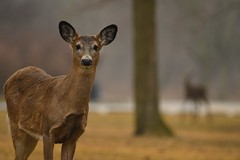 Deer and Ghost (Rob E Twoo) Tags: