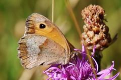 Schmetterling (Hugo von Schreck) Tags: hugovonschreck maniolajurtina butterfly schmetterling falter macro makro grosesochsenauge canoneos5dsr tamron28300mmf3563divcpzda010 buzznbugz