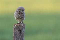 R18_6082 (ronald groenendijk) Tags: cronaldgroenendijk 2018 athenenoctua littleowl rgflickrrg animal bird birds copyrightronaldgroenendijk europe nature natuur natuurfotografie netherlands outdoor owl owls ronaldgroenendijk steenuil uil uilen vogel vogels