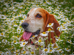 Its to darn hot (mejud) Tags: boo daisy basset hound dog summer threemiletown scotland animal pet tongue flowers rescuedog
