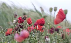 Poppies (Wouter de Bruijn) Tags: fujifilm xt2 fujinonxf35mmf14r poppy poppies papaver klaproos flower flowers nature flora bokeh depthoffield outdoor wind grass muted colour red walcheren zeeland nederland netherlands holland dutch