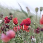 Poppies thumbnail