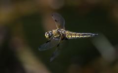 Vierfleck (Libellula quadrimaculata) 1357 (fotoflick65) Tags: vierfleck libellula quadrimaculata fotoflick65 leopold kepplinger 1610 y2018 ym04 tamronsp150600mmf563divcusdg2 tamronspaf150600mmf563divcusd fl500 fl450600 st2000 f63 f56f8 iso800 iso8001600 libelle segellibelle dragonfly groslibelle odonata imflug fliegender inflight botanischer garten linz insect insekt makro ds bof ta150600