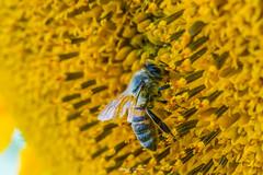 #Sunflower #Macro (graser.robert) Tags: sunflower macro makro tamron 90mm robertgraser lighttime insekt insekten wiese feld