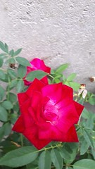 Rose family (renukadeshmukh) Tags: naturephotography flowerphotography rose red flower
