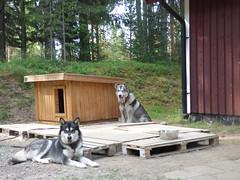 Waiting.. (jondewi52) Tags: animal alaskan colours colour dog dogs garden lapland malamute musher mushers nature norrland outdoors outdoor summer sleddog sleddogs