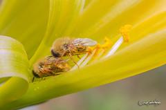 Lasia sp. (diptera fam. Acroceridae) (pedrographer) Tags: lasiasp acroceridae atacama desierto desiertoflorido amarillo micronikkor 55f28ais ais macro polinizador