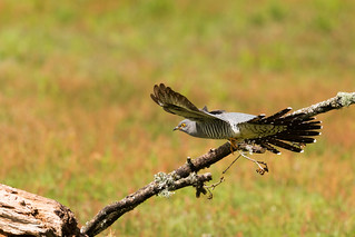 Colin the Cuckoo comes in to land