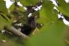 Blackbird (Alessandro Messora) Tags: blackbird bird tree plant leaves