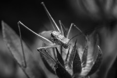 mono-hopper (Blende1.8) Tags: grasshopper grashüpfer flip grashuepfer macro makro insect insects insekt insekten monochrome monochrom mono natur nature schwarzweiss sw black white sony sel90g 90mm a6300 6300 alpha emount ilce6300 carstenheyer aninmal animals