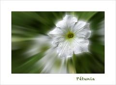 Pétunia (Gérard Boisnard) Tags: nature fleurs flowers flores macro boisnard