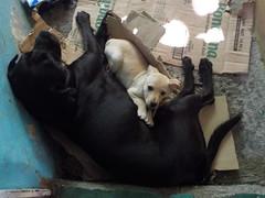 Casimiro y Molly bebé (Juan Antonio Xic Eseyosoyese) Tags: casimiro negro blacky y molly venadita bebé perros perritos amigos mascotas dogpic dos nikon descansando cariño amor ternura patio cartones un rayo de sol labrador corriente corazón méxico perro perra reposo entrada