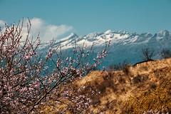 Bhutan: Cherry Blossoms. (icarium.imagery) Tags: canoneos5dsr bhutan blue captureone clouds colors drukyul hills himalayas landscape mountainrange mountains nature paro peaks rural sigma sigma100400mmf563dgoshsm travel tree vibrant cherry blossom