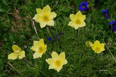 Pulsatilla (stefano.chiarato) Tags: fiori flowers pulsatilla natura lombardia italy valdiscalve