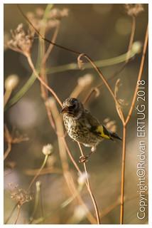Goldfinch - Juvenile  / Carduelis carduelis