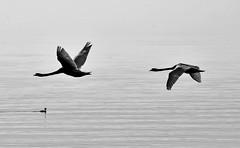 Couple de cygnes en vol (Diegojack) Tags: morges vaud suisse d7200 nikon nikonpassion