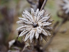 Frost Covered (maximilian.neumayer90) Tags: nature outdoors outside plant leaves botanic botanical weather cold frost covered closeup germany olympus omd em10 mark ii