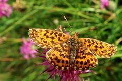 Argynnis (ZdenHer) Tags: argynnis butterfly macro canonpowershotg7xmarkii flower