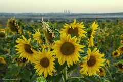 Campo de girasoles (Mari Carmen Carabias) Tags: paisaje girasol flor flowers sunflowers landscape madrid españa sol canon450d 450d verano summer naturaleza nature pic