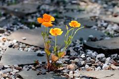 (TheLittleMiss) Tags: californiapoppy eschscholziacalifornica orange flower yellow rocks stone gravel plant