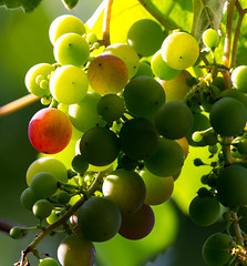 shadow and light (herman hengelo) Tags: grapes druiven zon tegenlicht backlightgrapes macro garden hengelo thenetherlands