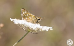 Silver-spotted Skipper - Hesperia comma (Lauren Tucker Photography) Tags: astonrowant butterfly closeup macro nature wildlife silverspotted skipper hesperia comma uk south west england canon slr camera markii 7d 100400mm copyright ©laurentuckerphotography photography photographer photograph photo image pic picture allrightsreserved 2018 june summer spring colour bc oxford otmoor aston rowant naturereserve wild july