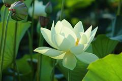 White Lotus in Echo Park (Robb Wilson) Tags: echopark losangeles losangeleslotusfestival whitelotusflower morningbacklight