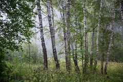 fog in a forest 2 (Taema) Tags: forest russia fog summer birch