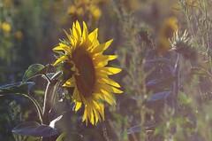 IMGP2341ccc (horschte68) Tags: sunflower summer sommer sonnenuntergang sunset sunsetmood gegenlicht backlight pentaxart pentaxk50 tair11a135mmf28 manualfocus primelens nature outdoor germany deutschland scenery