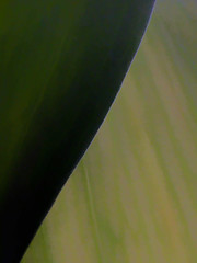 Leaves x2 (Steve Taylor (Photography)) Tags: minimalism minimalist green macro closeup newzealand nz southisland canterbury christchurch leaves
