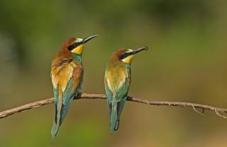 European Bee-eater: Merops apiaster
