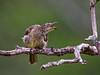Sri Lanka '17_0533 (Jimmy Vangenechten 76) Tags: geo:lat=837326853 geo:lon=8007199453 geotagged srilanka ceylon asia azië indianocean indische oceaanwildlifeanimalbirddiervogelwilpattu national parkwhitebrowed bulbulpycnonotus luteolus witbrauwbuulbuul