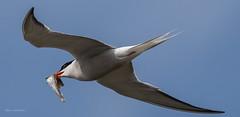 Küstenseeschwalbe (wernerlohmanns) Tags: wildlife natur outdoor nikond7200 naturpark sigma150600c schärfentiefe wildpark wasservögel watt s küstenseeschwalbe ngc npc 46