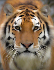 Tiger @ DZP (Paul Jarvis (Plymouth)) Tags: dartmoor zoo park big cat zoological devon sparkwell plymouth plympton mee bought