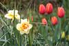 My garden (ambrasimonetti) Tags: tulips narciso daffodil