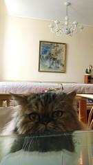 IMG_2961 (2) (kriD1973) Tags: europa europe italia italy italien italie lombardia lombardei lombardie monza brianza pets haustiere animali domestici cat gatto katze chat pet cats gatti chats katzen gato felino animal animale tier berlin