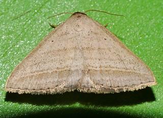 Little needle tusk triangle winged snout moth Loxioda sp aff hampsoni Noctuidae Airlie Beach rainforest P1240361