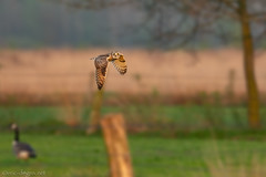 Short-Eared Owl @sunset (eric-d at gmx.net) Tags: sumpfohreule asioflammeus shortearedowl owl